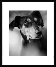 Quadro Decorativo em Preto e Branco Pet Cachorro da Raça Pinscher 50x60cm