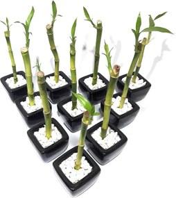 10x Vasinhos com Bambu da Sorte com Tag (Lucky Bamboo)